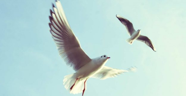 Two seagulls in flight in a blue sky